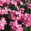 Blooming Phlox paniculata, Polemoniaceae - Stock Photo
