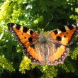 Admiral butterfly (Vanessa atalanta) — Stock Photo #2328708