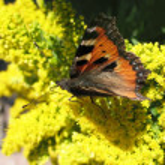 Admiral butterfly (Vanessa atalantа) — Stock Photo