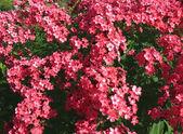Blooming Phlox paniculata, Polemoniaceae — Stock Photo