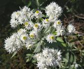 Blooming anafalis Pearl — Stock Photo