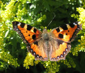Admiral butterfly (Vanessa atalanta) — Stock Photo