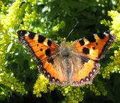 Admiral butterfly (Vanessa atalanta) — Stock Photo
