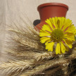 A clay jug ears and helenium against a b — Stock Photo