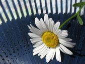 Leucanthemum against the fan. Macro — Stock Photo