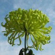 Green chrysanthemum against the blue sky — Stock Photo #2462922