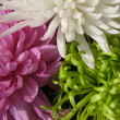 Petals of chrysanthemum. Background — Stock Photo