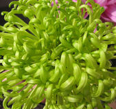 Green chrysanthemum — Stock Photo