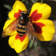 Eristalis tenax (hoverfly) — Stock Photo