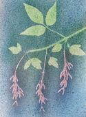 Bladeren en samaras acer. — Stockfoto