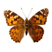 Butterfly with spots — Stock Photo