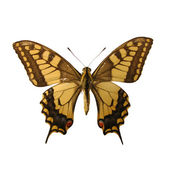 Machaon — Stock Photo