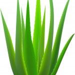Aloe-vera. — Stock Vector #2065959