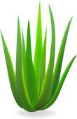 Aloe-vera. — Stock Vector