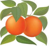 Oranges — Stock Vector