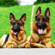 Two shepherd dogs - Stock Photo