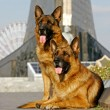 Two shepherd dogs laying - Stock Photo