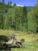 Snag in autumn wood — Stock Photo