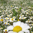 Marguerites - Stock Photo