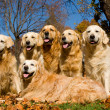 Royalty-Free Stock Photo: 6GoldenRetrieversAutumn_lc_P3261.jpg