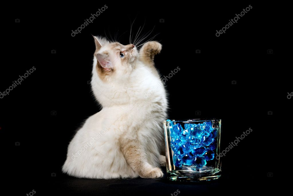 Ragdoll cat with backlit blue