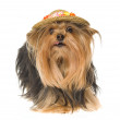 Yorkie dog with hat — Stock Photo
