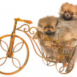 Pomeranian puppies in bicycle — Stock Photo