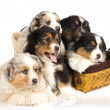 Royalty-Free Stock Photo: 5 Australian Shepherd puppies