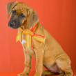 rhodesian ridgeback puppy — Stock Photo