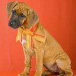 Rhodesian Ridgeback puppy — Stock Photo