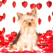 Stock Photo: Valentine Yorkie puppy