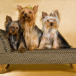 3 Cute Yorkies on miniature sofa — Stock Photo