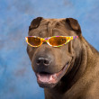 Sharpei dog wearing sunglasses — Stock Photo