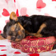 Valentine Yorkie puppy — Stock Photo