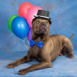 Stock Photo: Sharpei dog wearing top hat with balloon