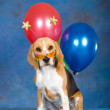 Beagle puppy with balloons, sunglasses — Stock Photo #2085696
