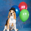 Beagle puppy with balloons and top hat - Stock Photo