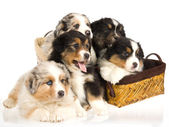 5 Australian Shepherd puppies — Stock Photo