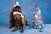 2 Sharpei dogs with Christmas tree — Stock Photo