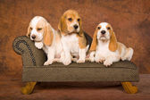 3 Cute Beagles on miniature sofa — Stock Photo