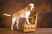 Pretty Beagle standing on woven chair — Stock Photo
