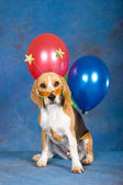 Beagle puppy with balloons, sunglasses — Stock Photo