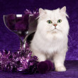 Chinchilla  cat on purple background — Stok fotoğraf
