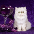 Chinchilla on purple background — Stok fotoğraf