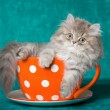 Chinchilla kitten in oversized cup - Stock Photo