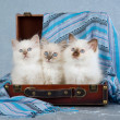 3 Birman kittens in suitcase — Stock Photo