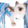 Birman kitten in cloth hammock — Stock Photo