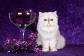 Chinchilla on purple background — Stock Photo
