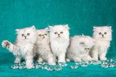 5 Chinchilla kittens on green — Stock Photo