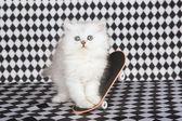 Chinchilla kitten with mini skateboard — Stock Photo